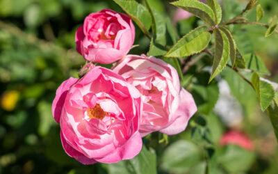Rosen schneiden und pflegen