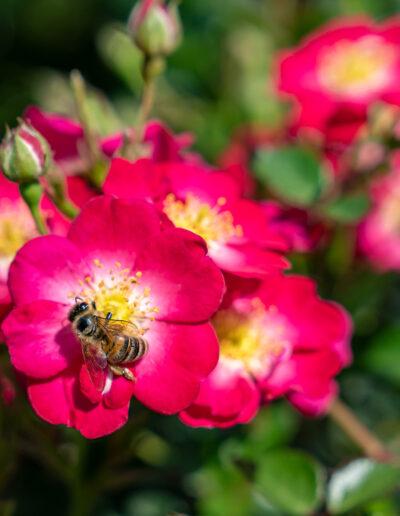 """Bienenfreundliche Rosen – Zwergrose """"Lupo"""""""