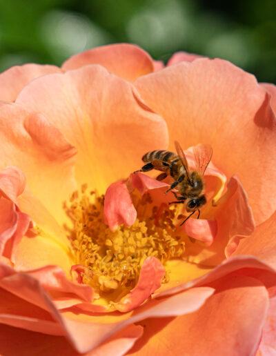 "Gartenbaugruppe – Bienenfreundliche Beetrose ""Marie Curie"""