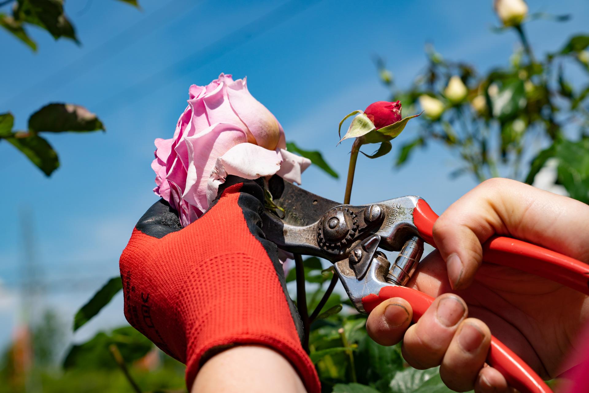 "Rosenpflege – Englische Rose ""Heritage"""