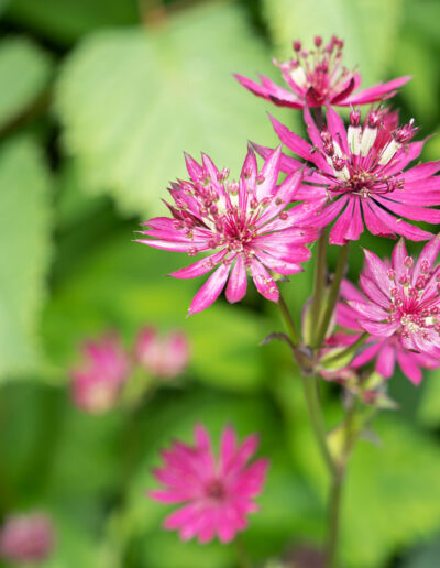 Sterndolde Pink: Astrantia major