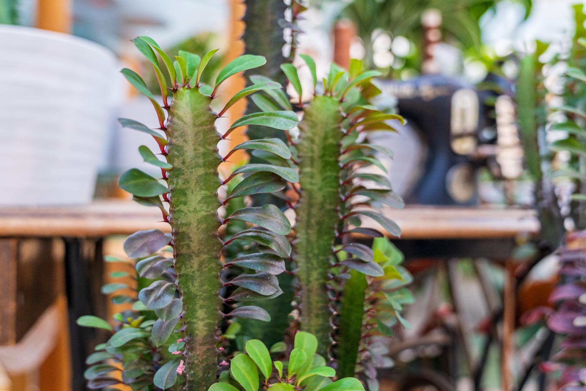 Euphorbia Trigona: fröhlicher Luftverbesserer fürs Zimmer