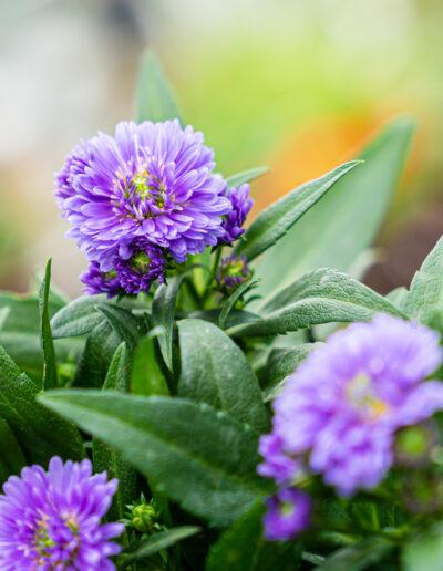 Astern violett