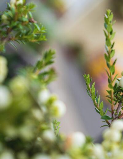 Myrte mit weißen Beeren