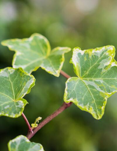 Efeu mit panaschierten Blättern