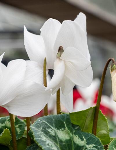 Herbstpflanzen –Alpenveilchen weiß