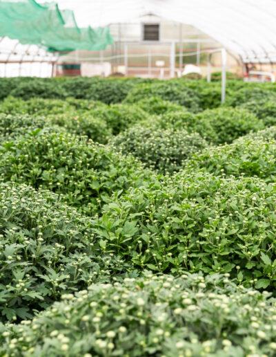 Herbstpflanzen –Chrysanthemenanbau