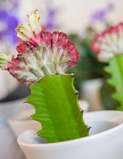 Spurge (Euphorbia Cristata)
