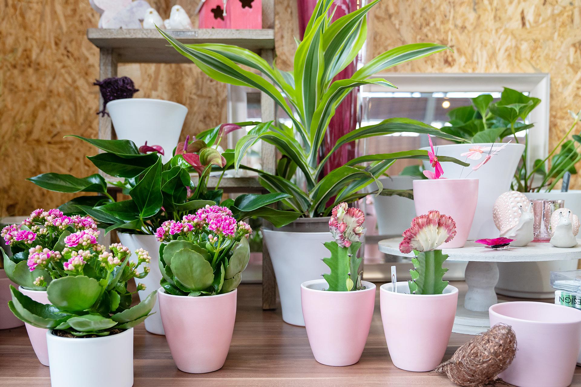 Dekoideen Zimmerpflanzen mit und ohne Blüte