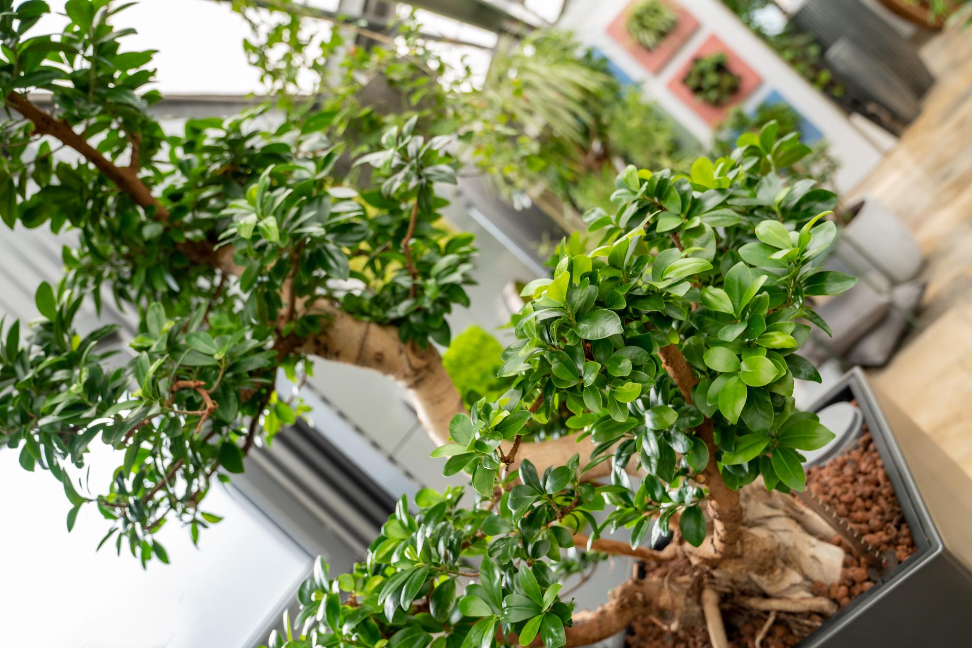 Professioneller Baumschnitt von Ihrer Gärtnerei - auch für Zimmerpflanzen