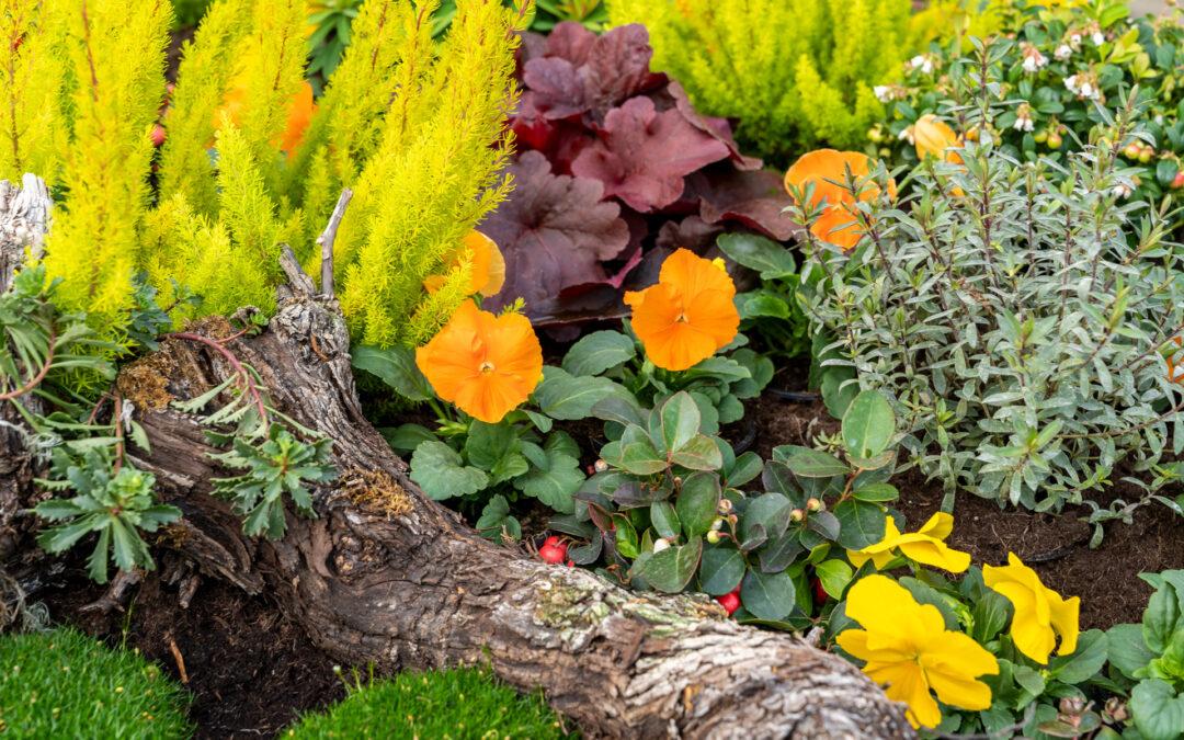 Grüne Calluna im Kontrast mit oranger Viola