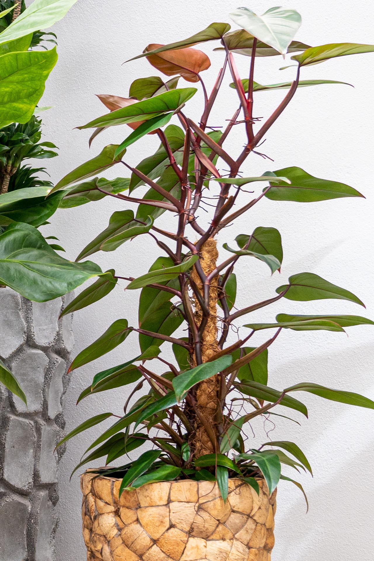 Dekorative Große Zimmerpflanzen