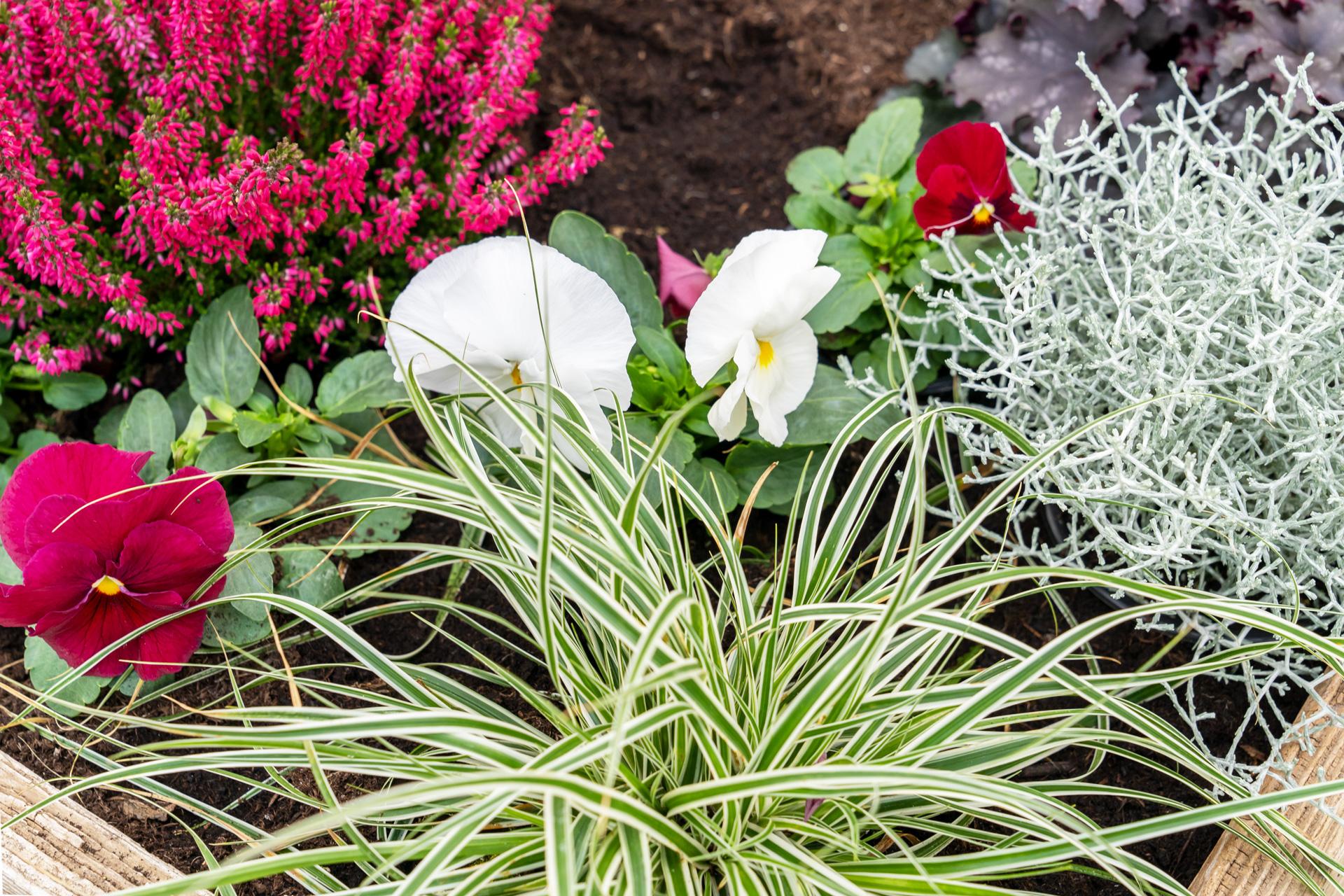 Rote Besenheide mit Viola, Gras und Stacheldraht