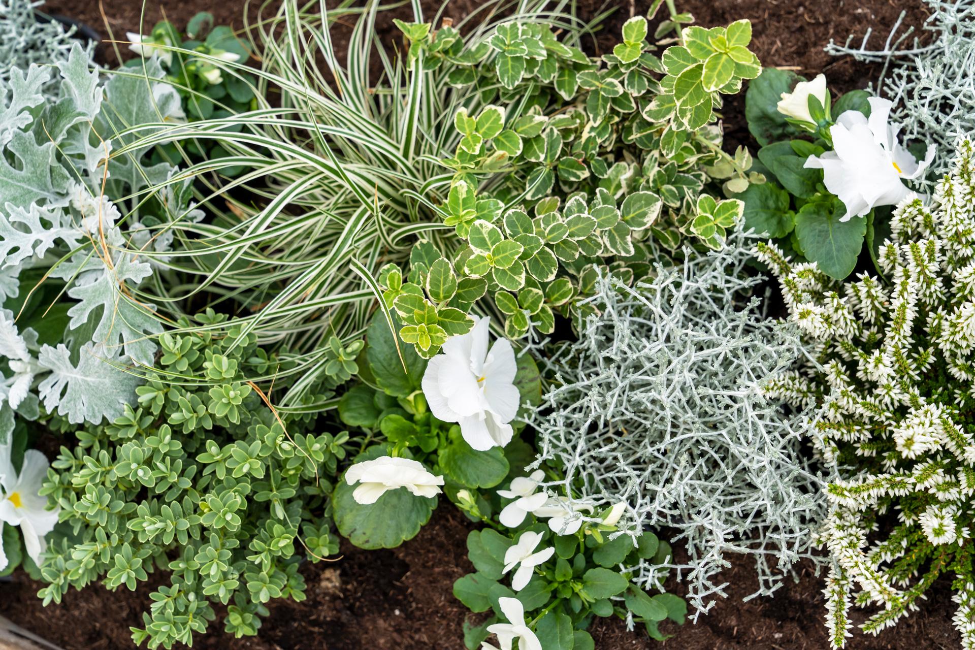 Weiße Viola mit Gräsern und Spindelstrauch