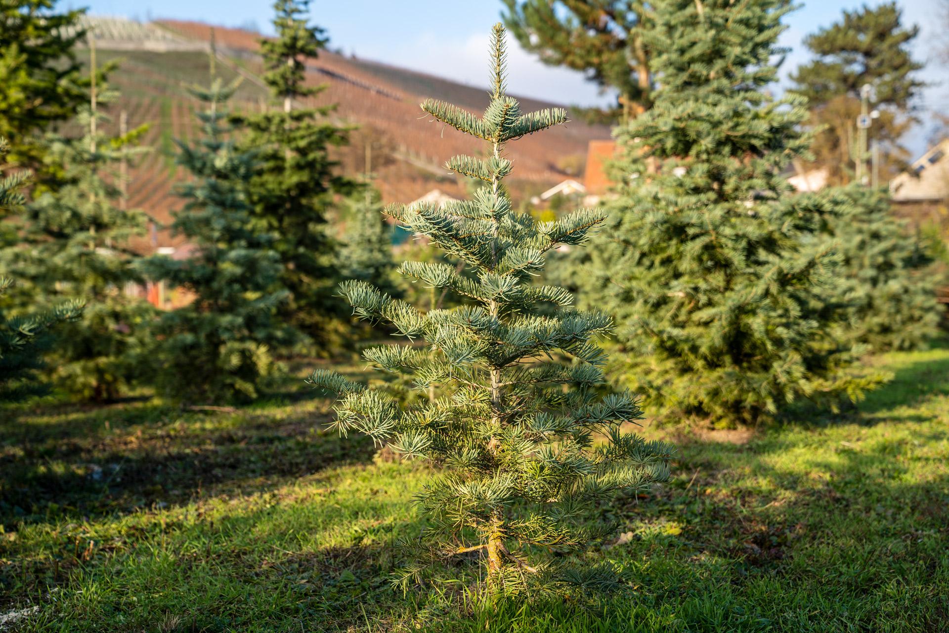 Kleiner Weihnachtsbaum in der Baumschule: aus regionalem Anbau