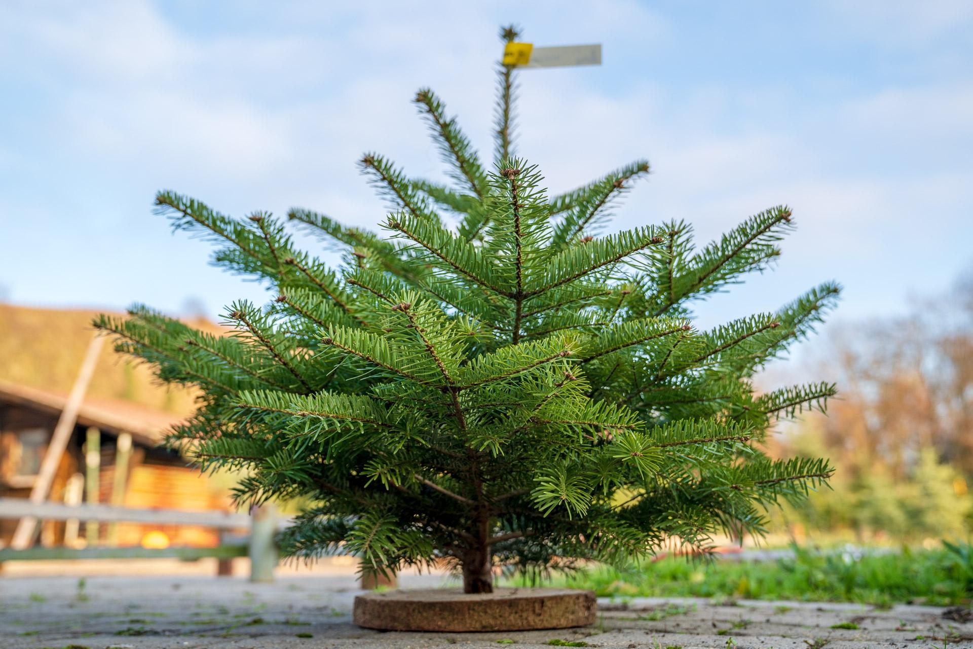 Mini Rotfichte als Weihnachtsbaum auf Sockel