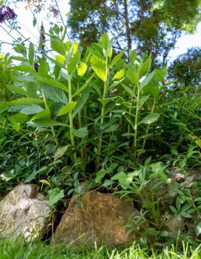 Beetbepflanzung mit Fetthenne
