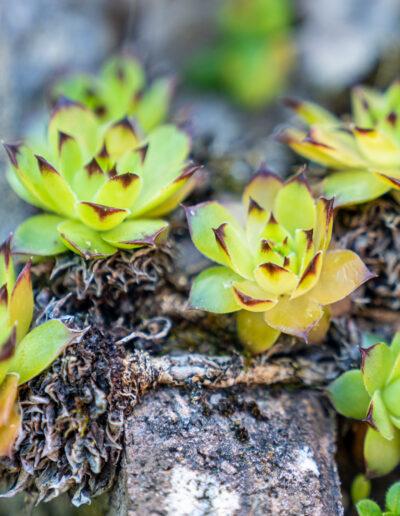 Hauswurz – winterharte Pflanze mit Heilwirkung