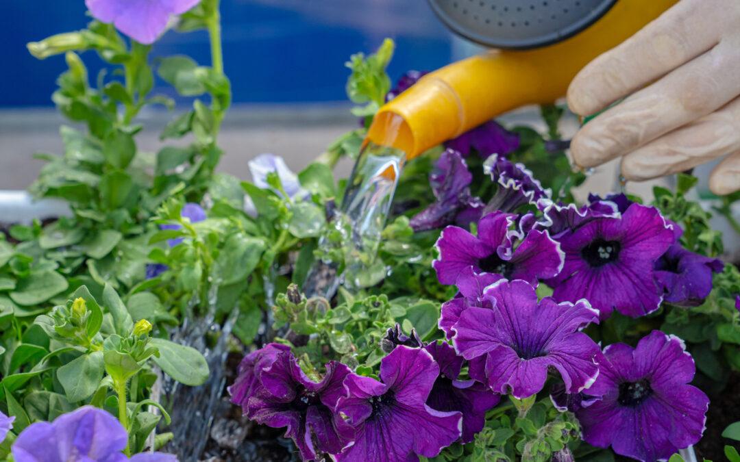 So Gießen Sie Balkonpflanzen Richtig