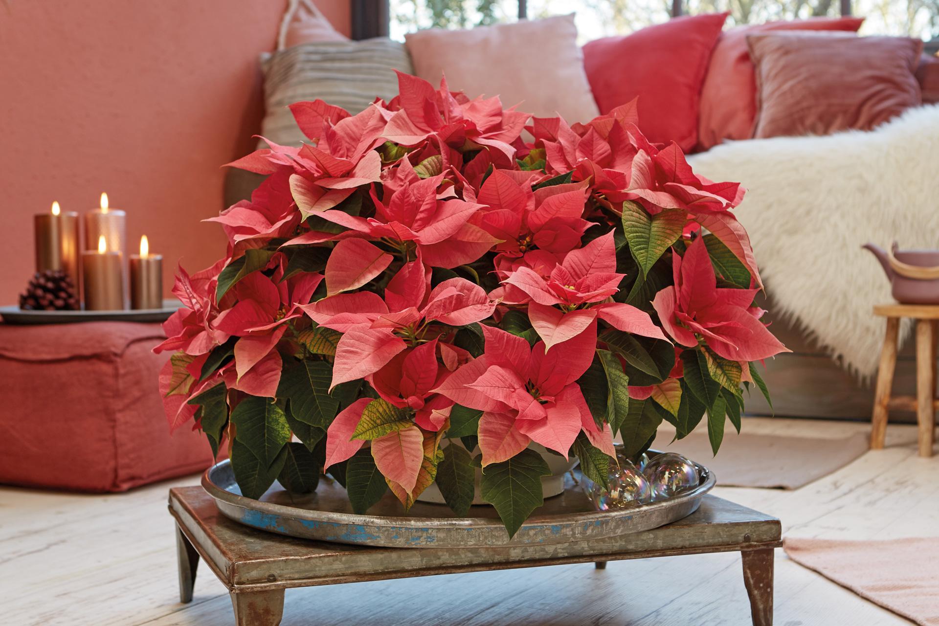 Wunderschöne Poinsettien Weihnachtssterne in Rot by Stars for Europe