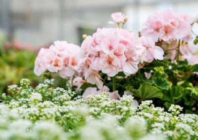 Gärtnerei Böck Pflanzenvielfalt für Garten und Friedhof