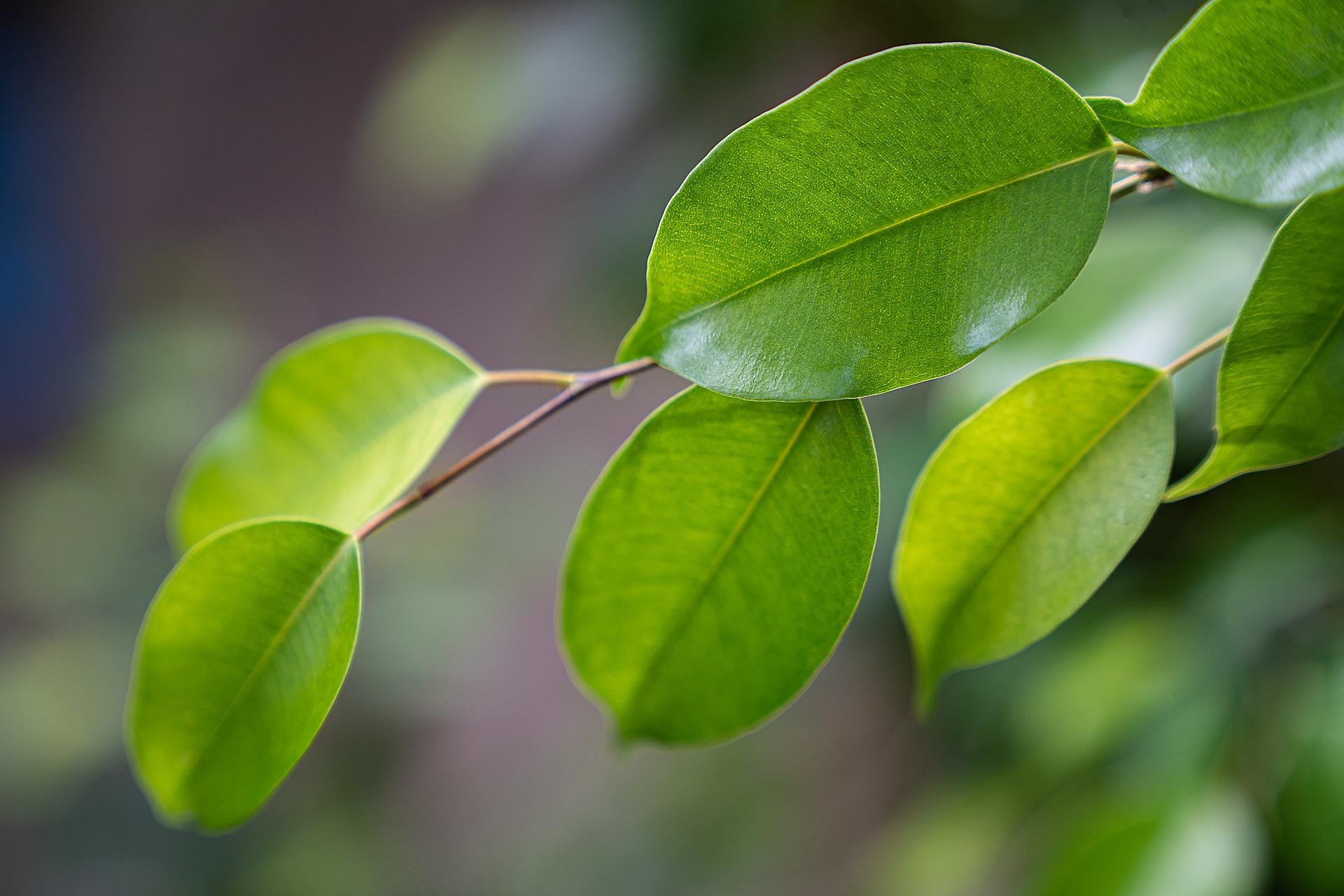 Ficus Benjamini: Ein eleganter Luftverbesserer
