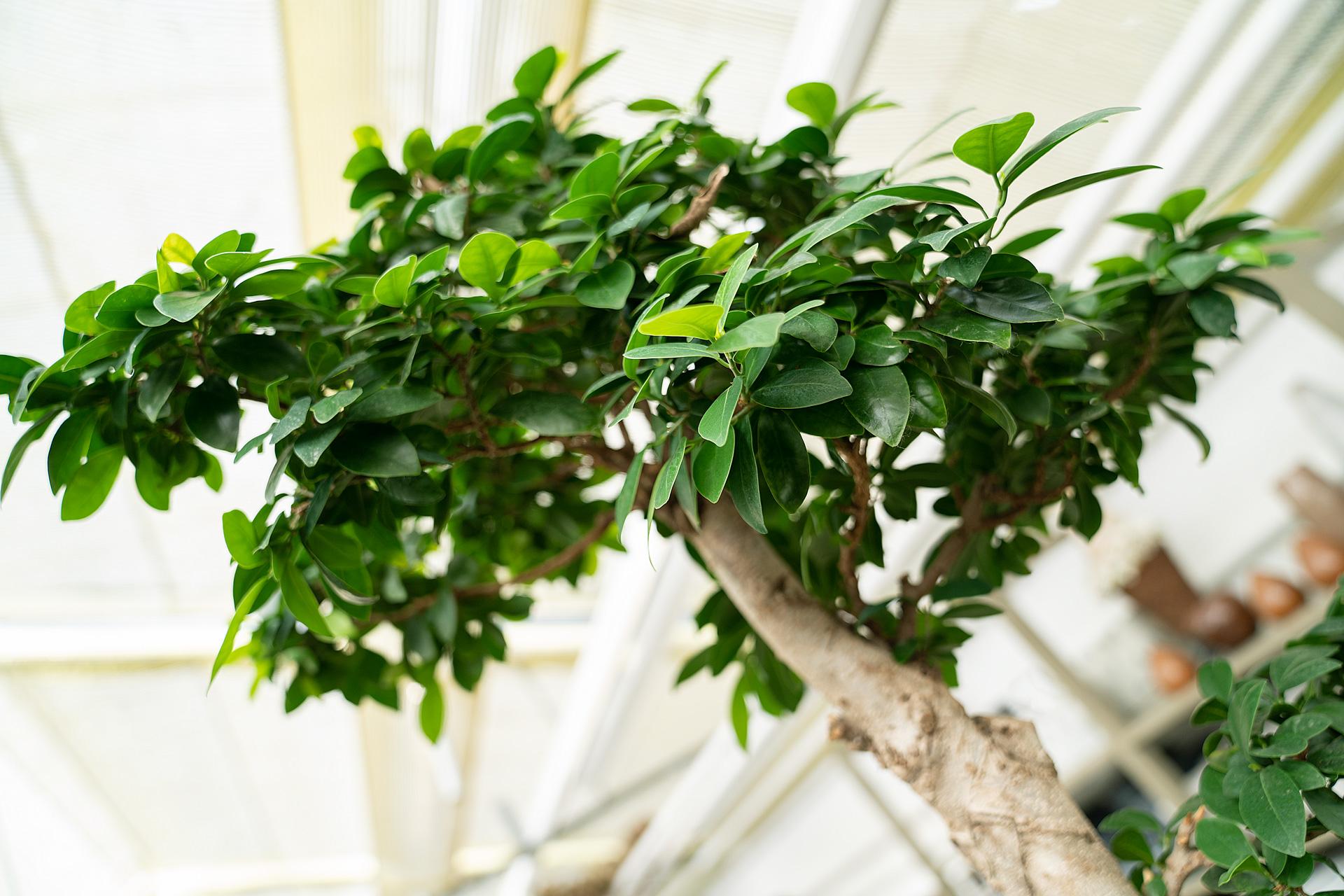 Ficus: filtert neben Formaldehyd auch Toluol und Xylol