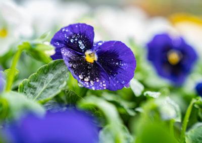 3684 Geartnerei Steger Bluehpflanzen Hornveilchen