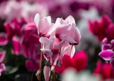 Alpenveilchen Rosa und Pink