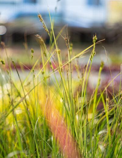 Gräser für Garten und Balkon