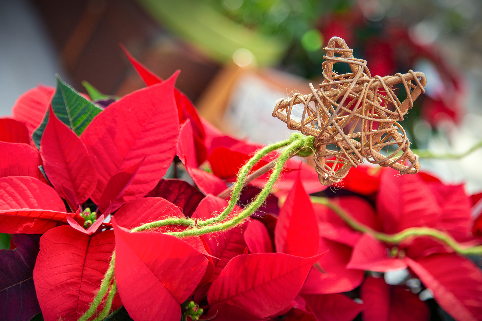Weihnachtssterne dort kaufen, wo sie wachsen – in Ihrer Gärtnerei