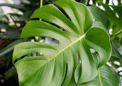 Monstera: Große Blätter verbessern die Luft und dämpfen sogar Lärm