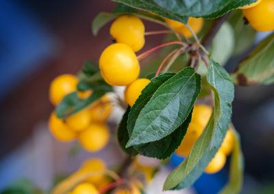 Gartenbaumschule Ringelmann Zier Apfel Malus Golden Hornet