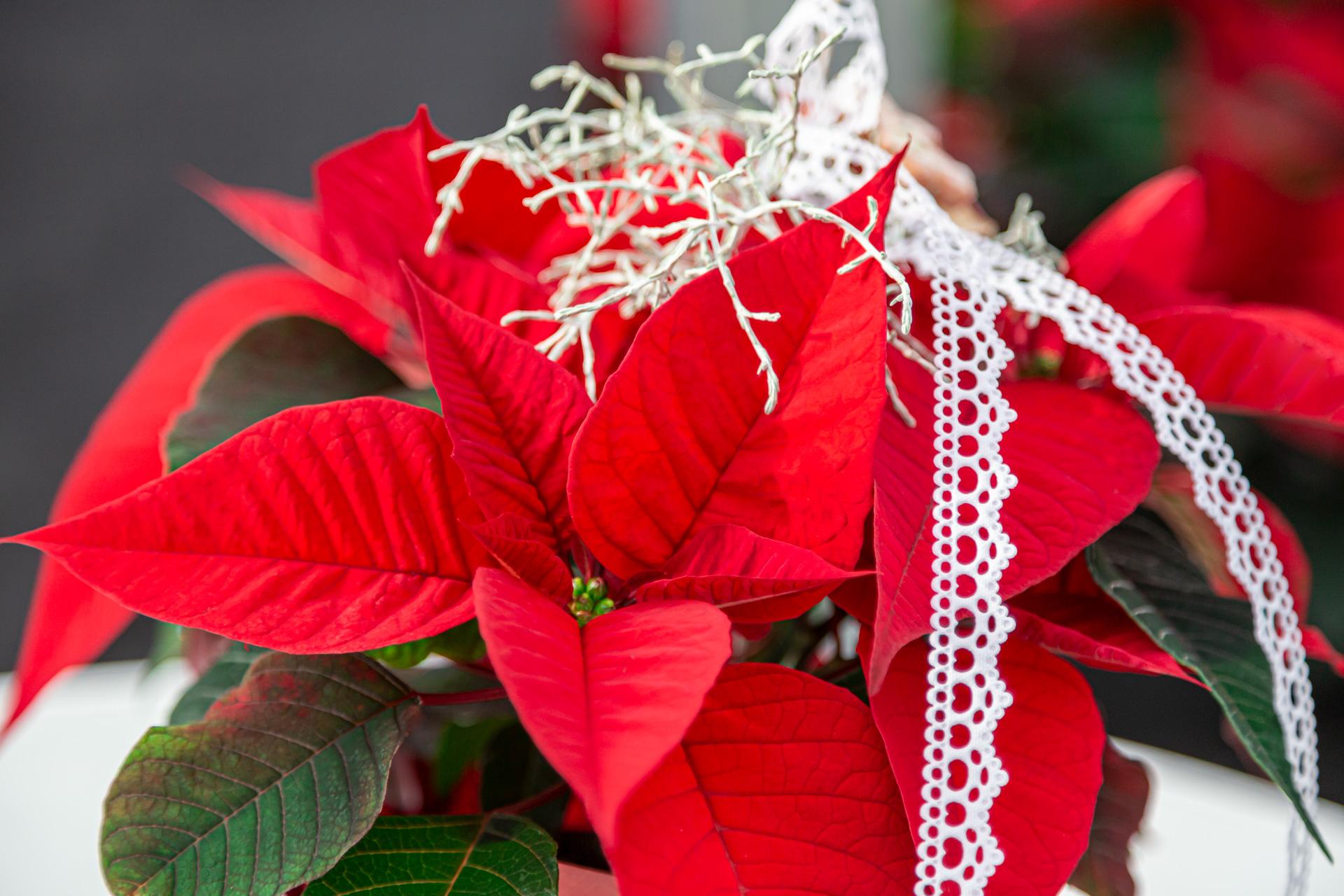 Weihnachtsstern Aus Eigenem Anbau
