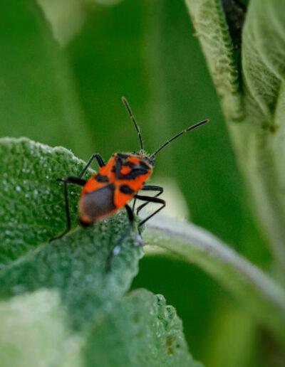 Nützliche Feuerwanze – Sie liebt Blattläuse