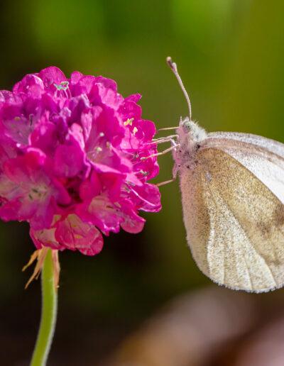 Insektenfreundlich: Strandnelke mit Schmetterling