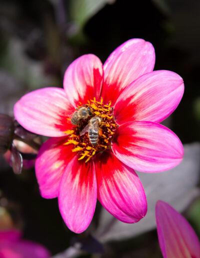 """Bienenweide """"Rockin Rosi"""" (Dahlienblüte)"""