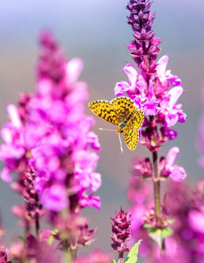 Insektenfreundliche Pflanzen: Freude für die Schmetterlinge