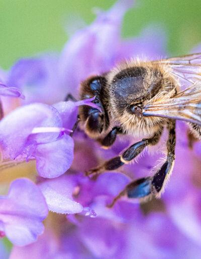 Bienenweiden aus der Gärtnerei