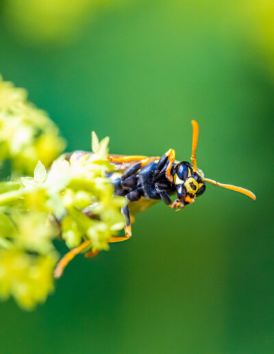 Wespe auf Frauenmantel