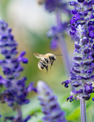 Lavendel ist ein Fest für Insekten