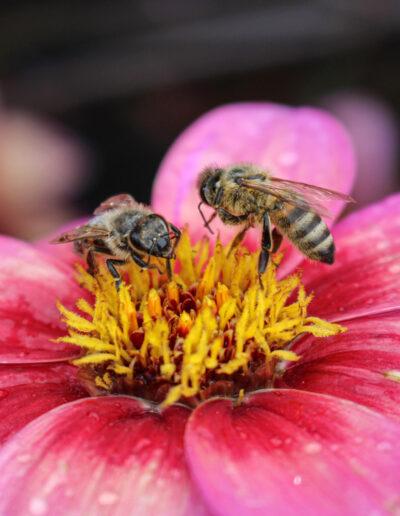 Blüte mit Bienen (Pflanze des Jahres 2020) Quelle: LWG Veitshöchheim