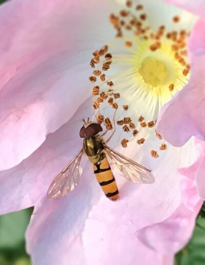 Schwebfliege an Blüte